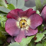"helleborus Rome in Red [24""]"