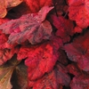 heuchera Autumn Leaves<br>WHOLESALE LINER