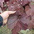 "heuchera Beaujolais [12""] v<BR>^^^ SOLD OUT ^^^"
