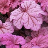 heuchera Berry Smoothie<br>WHOLESALE LINER