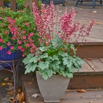 "heuchera Berry Timeless [6""] v"