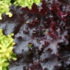"heuchera Black Beauty [12""] v"
