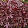 heuchera Blackberry Crisp<br>WHOLESALE LINER