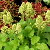 "heuchera Blondie in Lime [5""] v"
