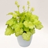 "heuchera Blondie in Lime [5""] v<BR>^^^ SOLD OUT ^^^"