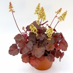 heuchera Blondie<br>WHOLESALE LINER