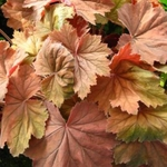 "heuchera Bronze Beauty [12""] v"