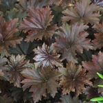 "heuchera Bronze Wave [18""] v<br>^^^ SOLD OUT ^^^"