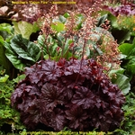 heuchera Cajun Fire<br>WHOLESALE LINER