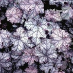 "heuchera Can Can [9""]"