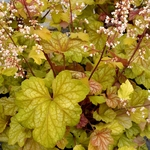 "heuchera Champagne [11""]<BR>^^^ SOLD OUT ^^^"