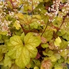 heuchera Champagne<br>WHOLESALE LINER