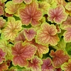 heuchera Delta Dawn<br>WHOLESALE LINER