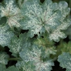 "heuchera Dew Drops [16""]<BR>^^^ SOLD OUT ^^^"