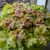 "heuchera Dolce Apple Twist [12""]"