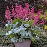 "heuchera Dolce Spearmint [10""]"