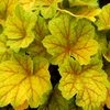 heuchera Electra<br>WHOLESALE LINER