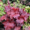 heuchera Fire Alarm<br>WHOLESALE LINER