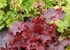 "heuchera Fire Chief [9""] v<BR>^^^ SOLD OUT ^^^"