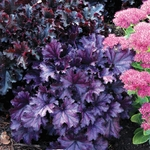 "heuchera Forever Purple [12""] v"