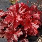 "heuchera Forever Red [7""]"