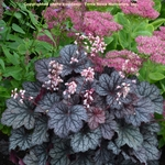 heuchera Frost<br>^^^SOLD OUT^^^