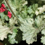 "heuchera Frosty Morn [10""]<br>^^^ SOLD OUT ^^^"