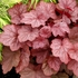 "heuchera Georgia Peach [14""] v<BR>^^^ SOLD OUT ^^^"