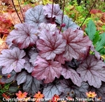 heuchera Georgia Plum<br>WHOLESALE LINER