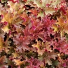 heuchera Ginger Peach<br>WHOLESALE LINER