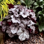heuchera Glitter<br>WHOLESALE LINER