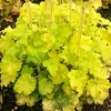 heuchera Harvest Lemon Chiffon<br>WHOLESALE LINER