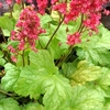 heuchera Havana<br>WHOLESALE LINER
