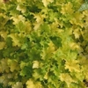 heuchera Key Lime Pie<br>WHOLESALE LINER