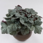 "heuchera Kira Alpine Forest [10""]"