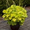"heuchera Lemon Love [14""] v"