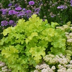 heuchera Lime Ruffles<br>WHOLESALE LINER