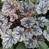 "heuchera Magic Color [12""] v"