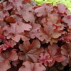 heuchera Mahogany<br>WHOLESALE LINER