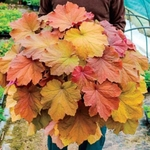 "heuchera Mega Caramel [20""] v<BR>^^^ SOLD OUT ^^^"