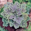 "heuchera Mercury [12""]v"