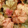 heuchera Midas Touch<br>WHOLESALE LINER