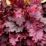 heuchera Midnight Bayou<br>WHOLESALE LINER