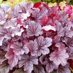 heuchera Milan<br>^^^SOLD OUT^^^