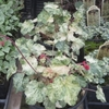 "heuchera Milky Way [12""]"