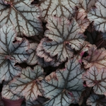 "heuchera Neptune [12""]<br>^^^ SOLD OUT ^^^"