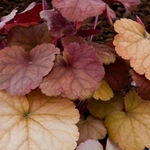 heuchera Orange Blush