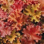 heuchera Peach Crisp<br>WHOLESALE LINER
