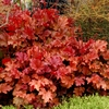 "heuchera Peach Flambe [7""]<BR>^^^ SOLD OUT ^^^"