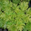 heuchera Pear Crisp<br>WHOLESALE LINER
